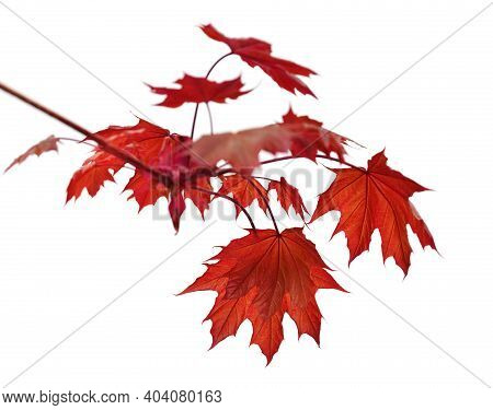 Branch Of Maple Tree With Red Autumn Maple-leafs Isolated On White Background