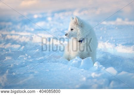 Young Female Samoyed Dog, On A Walk In A Field On A Winter Evening