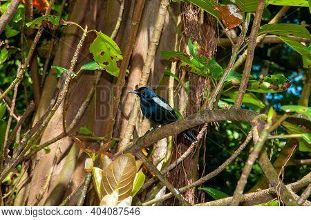 Seychelles Magpie-robin (copsychus Sechellarum). Aride Nature Reserve, Seychelles