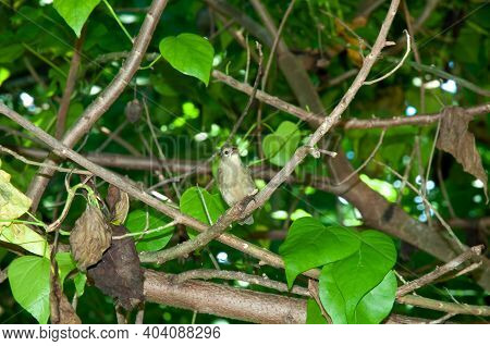 Seychelles Warbler (acrocephalus Sechellensis) Resting On A Branch Tree In Aride Island Nature Reser