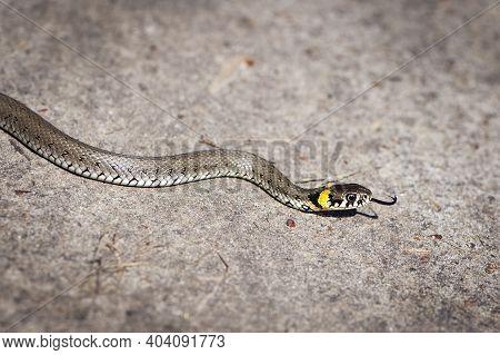 A Small Snake Crawls Along The Ground. Non-venomous Snake Natrix Natrix, On A Sunny Day, Close-up. A