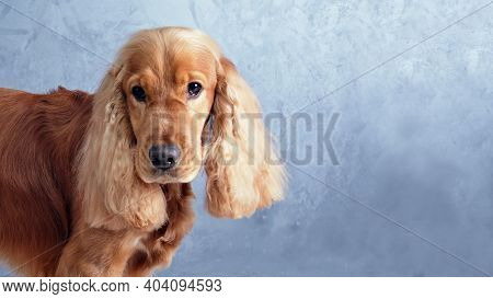 An English Cocker Spaniel Sits On An Isolated Gray Background In Close-up. Spaniel After Grooming In