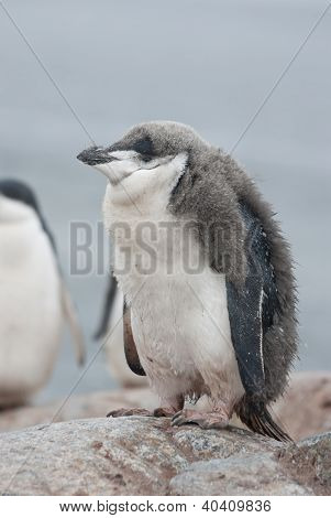 Antarctic penguin (Pygoscelis antarctica) chick who almost molted. poster