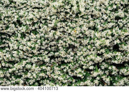 Dense Leaves Of Jasmine Bushes With White Flowers Close-up.