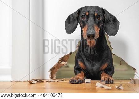 Portrait Of A Cute Dog Dachshund Piteously Looks At The Owner Having Done A Mess In The House, Gnawe