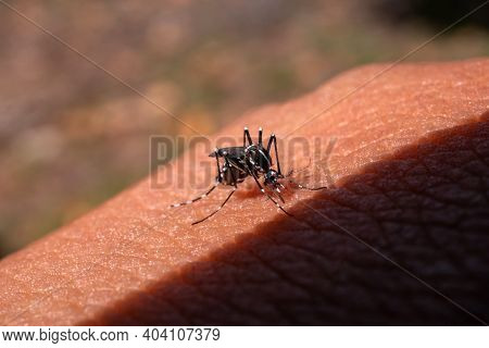 Aedes Aegypti Mosquitoe Bite And Feeding Blood On Wrinkle Skin.aedes Mosquitoes Bring Dengue Disease
