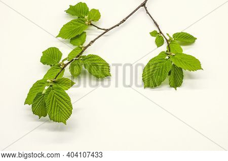 Spring Branch Of Hazel With First Light Green, Tender, Corrugated, Serrated Leaves On White Backgrou
