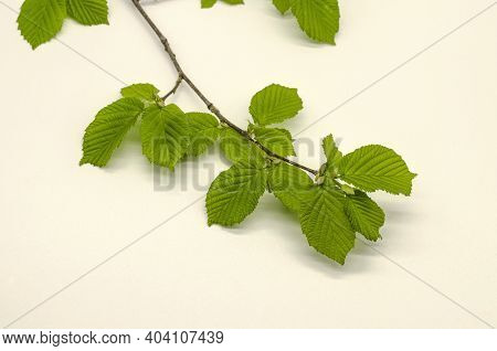 Delicate Sprig Of Hazelnut With The First Spring Tender, Corrugated, Serrated Light Green Leaves On
