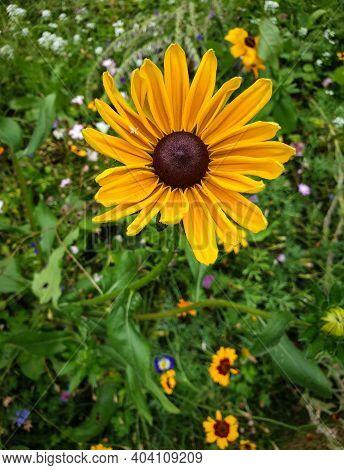 Close Up Of A Yellow Rudbeckia In A South France Garden
