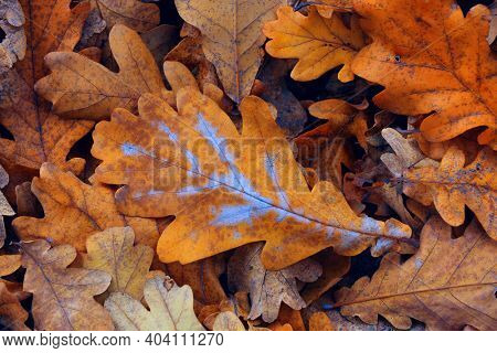 autumn oak tree leafs cover - abstract background
