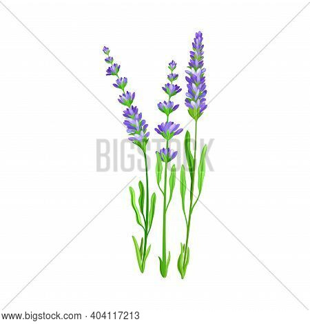 Flower Stem Or Stalk With Blue Florets As Meadow Or Field Plant Vector Illustration