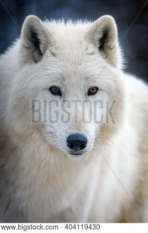 Close Up White Arctic Wolf Looking On Camera. Danger Animal In Nature Habitat