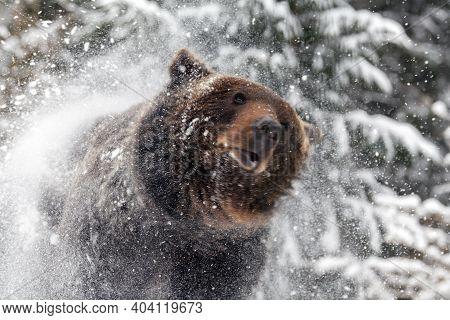 Wild Adult Brown Bear (ursus Arctos) Splashing Snow In The Winter Forest. Dangerous Animal In Nature