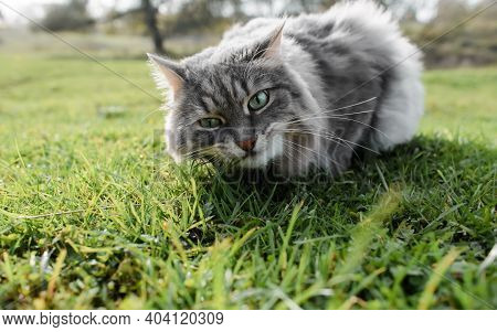 Cat Eats Green Grass On The Lawn Outdoors, Close-up. Portrait Of A Gray Fluffy Cat Of Siberian Breed