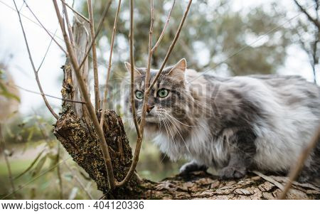 The Cat Is Hunting. Fluffy Cat Of The Siberian Breed Sitting On A Tree.