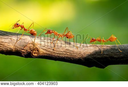 Three Red Ants Walk On The Branches, Blurred Green Background.