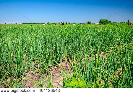 A Team Of People Are Working On Plantation Of Young Leek To Maintain The Onions. Greenhouses In The