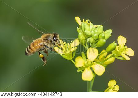 Image Of Bee Or Honeybee On Flower Collects Nectar. Golden Honeybee On Flower Pollen With Space Blur