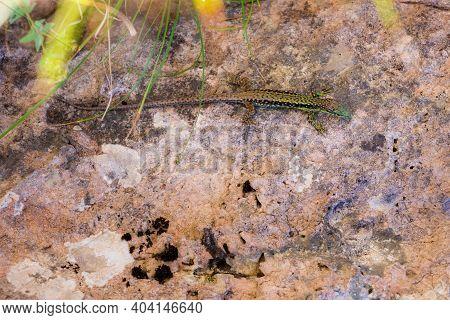 Green Lizard Sits On A Stone Under The Sun. The European Green Lizard Lacerta Viridis. Background Li