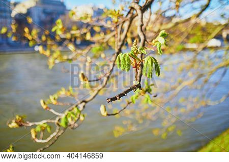 Tree Branch With First Green Chestnut Leaves On It Over The River Seine In Paris. Spring Season In F