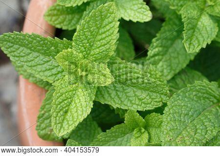 Peppermint, Spearmint Or Garden Mint Plant Its Scietific Name Mentha Spicata