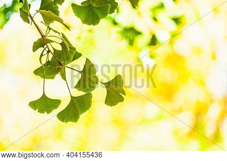 Gingko Biloba Tree Leaf In Sunny Day With Sunlight.