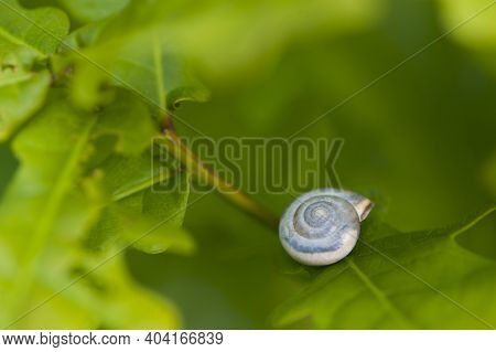 Snail Shell In Green Leaves. Shell Of A Beautiful White Snail Isolated On Green Leaves. Natural Summ