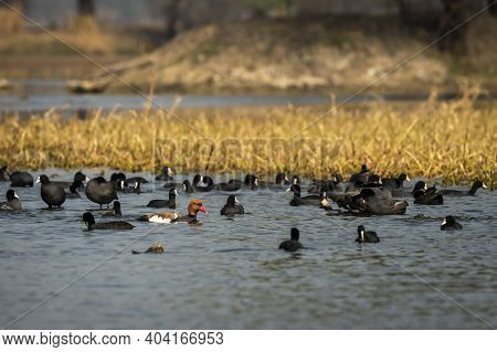 Red Crested Pochard A Colorful Bird Floating In Blue Water With Flock Of Eurasian Coot In Natural Sc