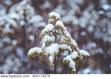 Dry Canada Goldenrod Covered In Snow On Meadow In Winter