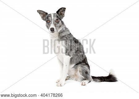Blue Merle Border Collie Dog