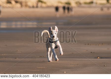 Young Female Puppy Playing And Running Happily Along The Sand On The Beach In Cadiz