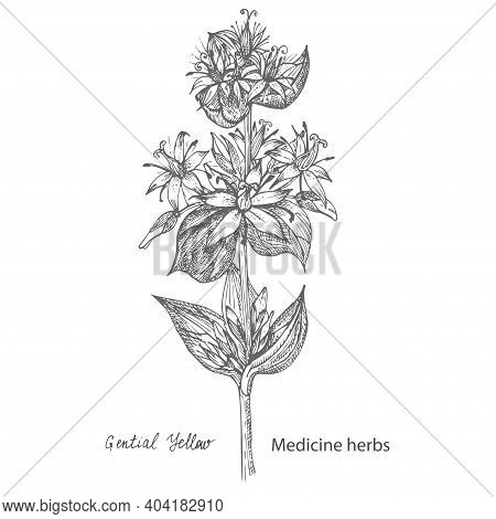 Set Hand Drawn Of Gentian Yellow, Lives And Flowers In Black Color Isolated On White Background. Ret