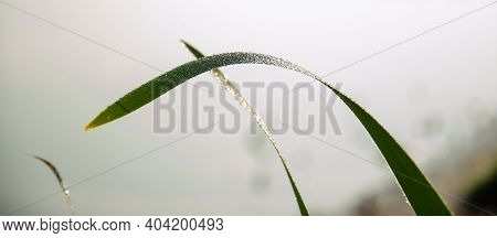 Close-up Dew On Green Grass In The Early Morning. Nature Background. Selective Focus On Dew Water Dr