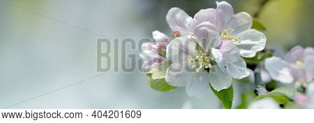 Background With Spring Apple Blossom. Blossoming Branch In Springtime