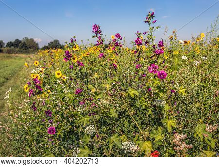 Purple Flowering High Mallow Plants Sown Among Other Flowering Plants In A Dutch Field Edge To Promo