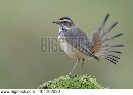 Motion Record Of Moving Tail Shot By Shot Of Bluethroat Bird While Tail Wagging In High Shutter Spee