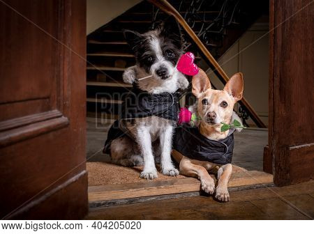 Couple Of Two Dogs  For Happy Valentines Day With  Rose Flower And Lollypop Or Lollipop  In  Mouth ,