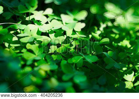 Defocused Green Shamrock Nature Background. Fresh Juicy Green Leafs Of Oxalis, Shamrock, Trefoil. St