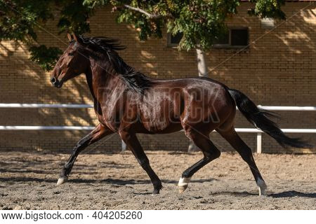 Young Brown Gelding Of The Lusitano Breed Trotting In Freedom