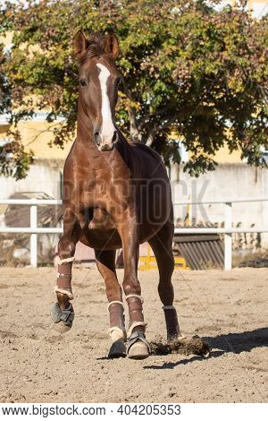 Happy Young Chestnut Mare With Blaze Galloping In Freedom