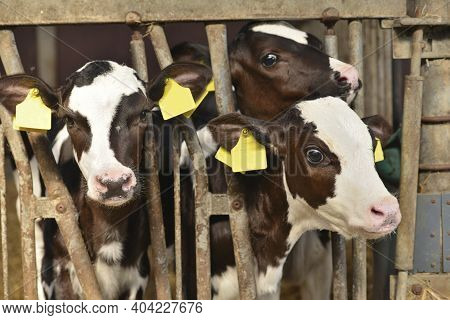 Three Newborn Little Red-and-white Calves Bos Primigenius Taurus In A Farmer's Stable In The Netherl
