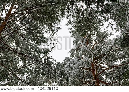 Snowy Winter Forest With Tall Pines And Beautiful Snowy Coniferous Trees.