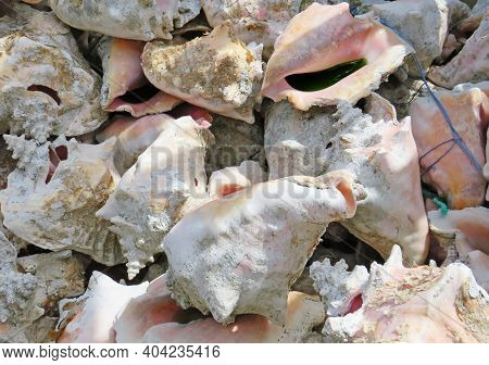 Lambi Shells Or Queen Conch Shells Background. Pink Snail Shells Pattern. Pile Of Seashells Close Up