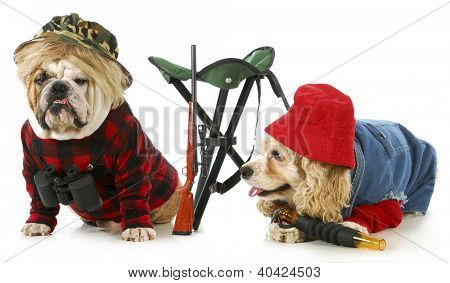 hunting dogs - american cocker spaniel and english bulldog dressed up like hunting dogs isolated on white background