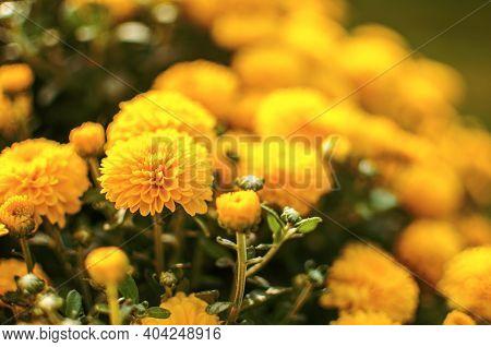 Autumn Chrysanthemum Flowers Grow
