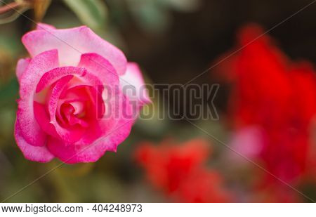 Beautiful Fresh Roses Grow Outdoors In The Summer