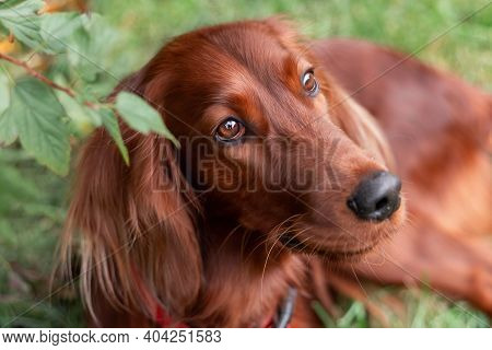 Beautiful Close Up Portrait Of Red Irish Setter Breed Dog Face At Nature
