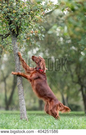 Red Irish Setter Dog Trying To Get To Apples On Tree While Outdoors Activity Games At Nature