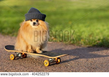 Dog And Sports. Cool  Pomeranian In Hat Riding In Skateboard On The Road, Looking At The Camera. Cre