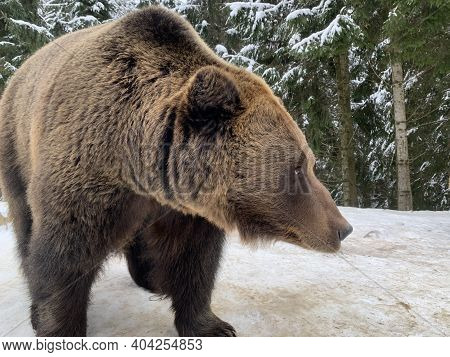 An Adult Bear In A Snowy Forest. Brown Bear On The Background Of The Winter Forest. Rehabilitation C